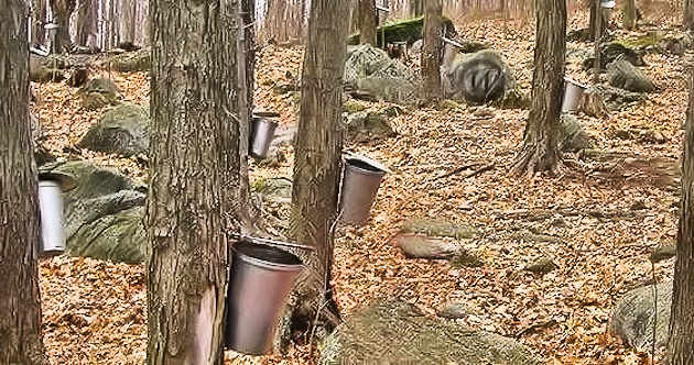 Maple sap used to make maple syrup is being collected in to tin buckets